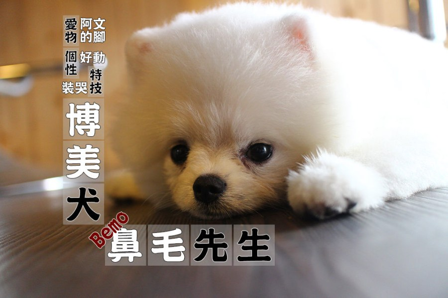 寵物毛小孩 火鍋店的毛茸茸博美店狗 台南市北區|博美犬-鼻毛先生Bemo-湧日式涮涮鍋