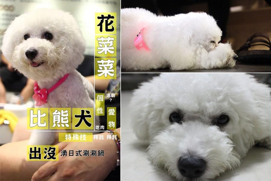 寵物毛小孩 火鍋店的毛茸茸比熊店狗 台南市北區 比熊犬-花椰菜-湧日式涮涮鍋