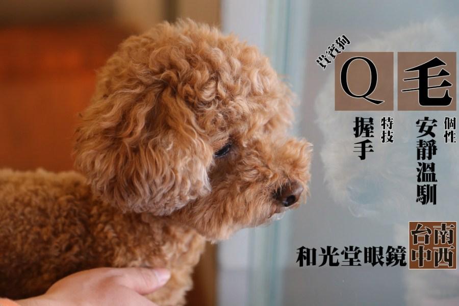 寵物毛小孩 靠近安平眼鏡行裡藏店狗,Q毛的毛Q軟超好摸 台南市中西區 貴賓狗-Q mo-和光堂眼鏡
