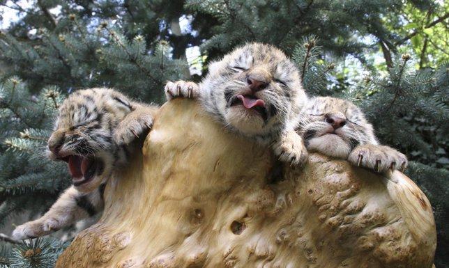 Cachorros de tigre de Bengala