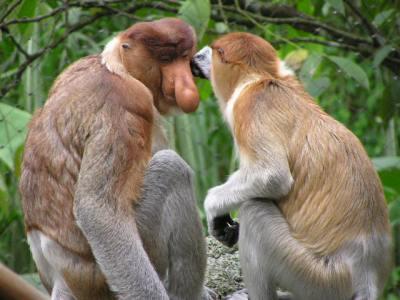 Par de macacos-narigudos.