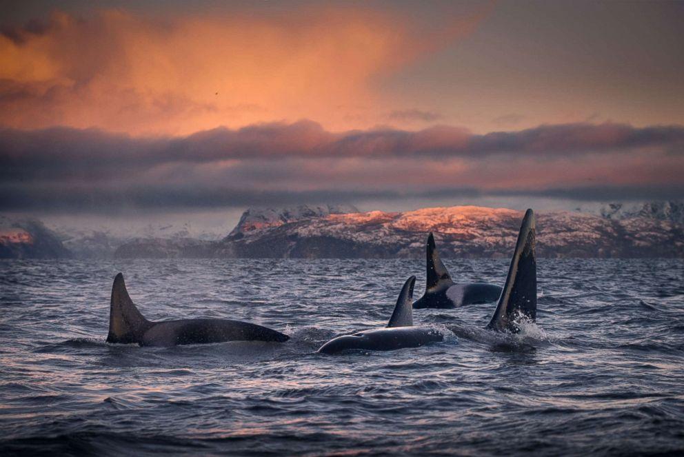 Sabias que as orcas fazem tratamentos de beleza?