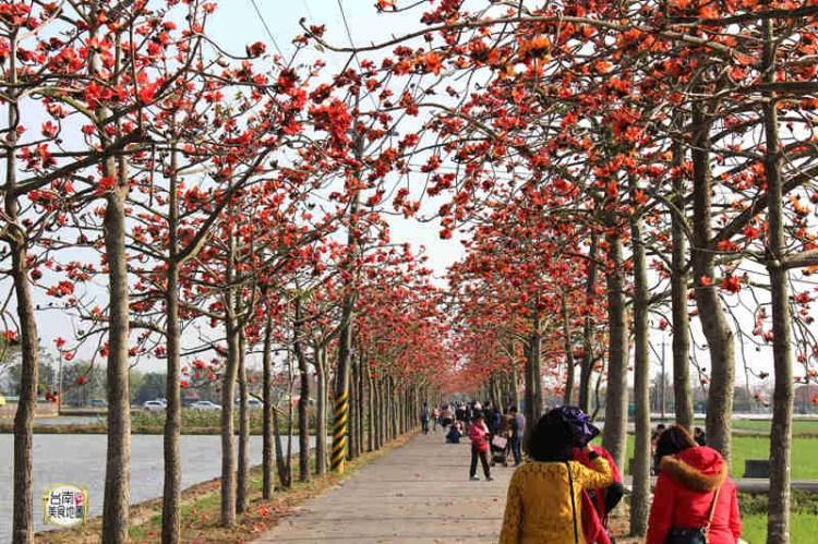 台南白河旅遊景點│全球最美的花海街道之白河林初埤不來朝聖對不起自己