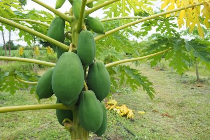 pawpaw tree (papaya)