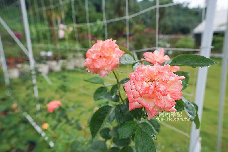 蘿莎玫瑰莊園-32
