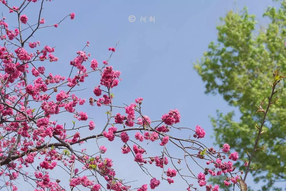 台中新社櫻花-35