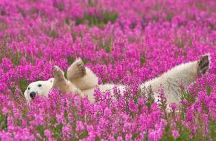 [視覺傳達]加拿大北極熊攝影藝術