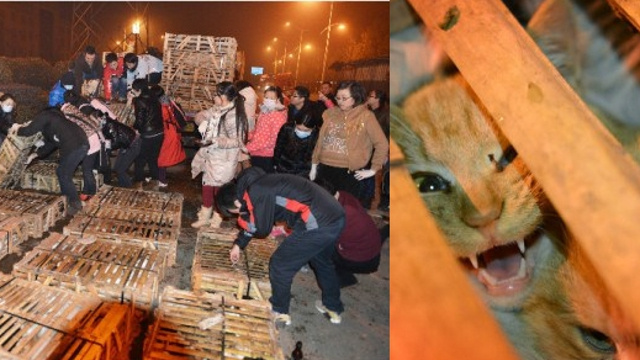 Hundreds of Cats Being Shipped to Restaurants in China Saved from Slaughter Thanks to Traffic Accident