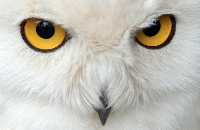 Snowy Owls are Taking Over America in Most Adorable Invasion Ever