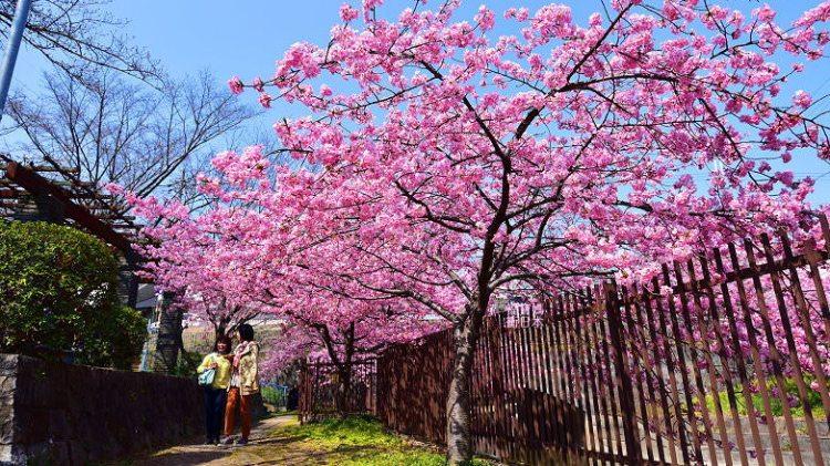 京都賞櫻景點 | 淀水路河津櫻(淀の河津桜),漫步在河津櫻花隧道