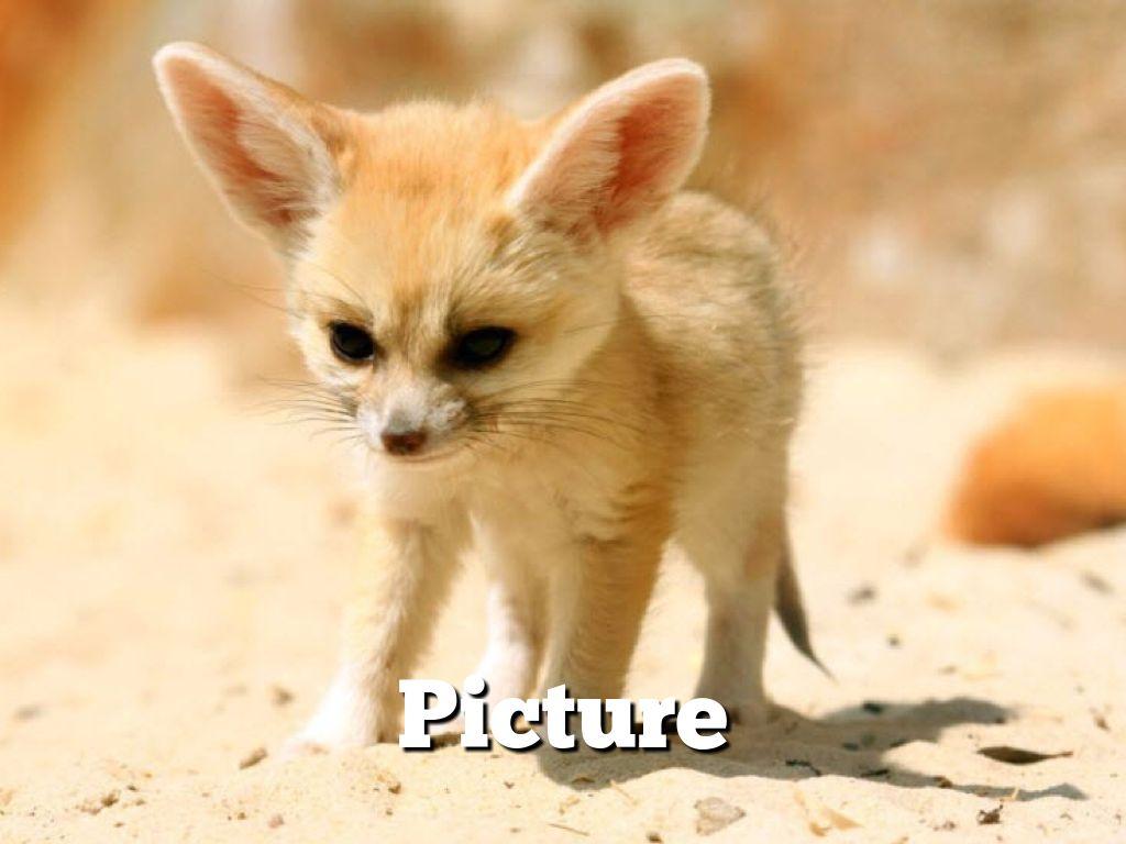 Fennec Fox By Laney Will