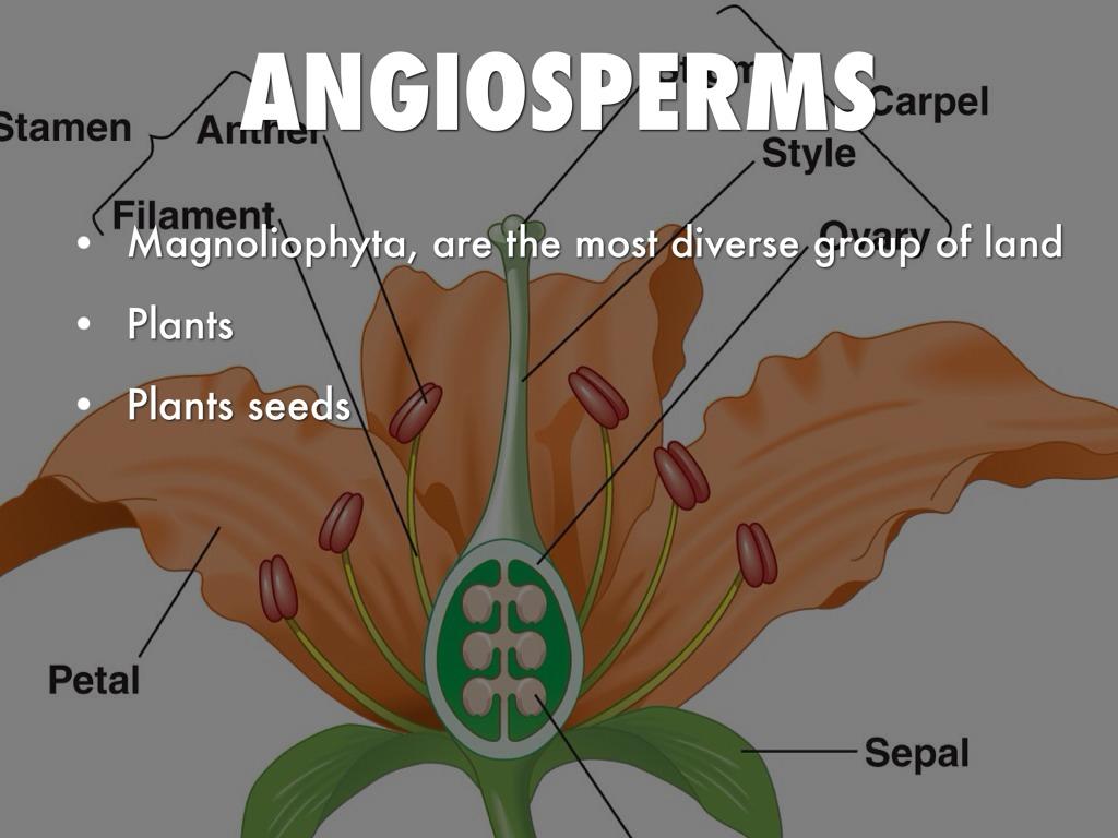 Angiosperms Amp Gymnosperms By Austin Blume