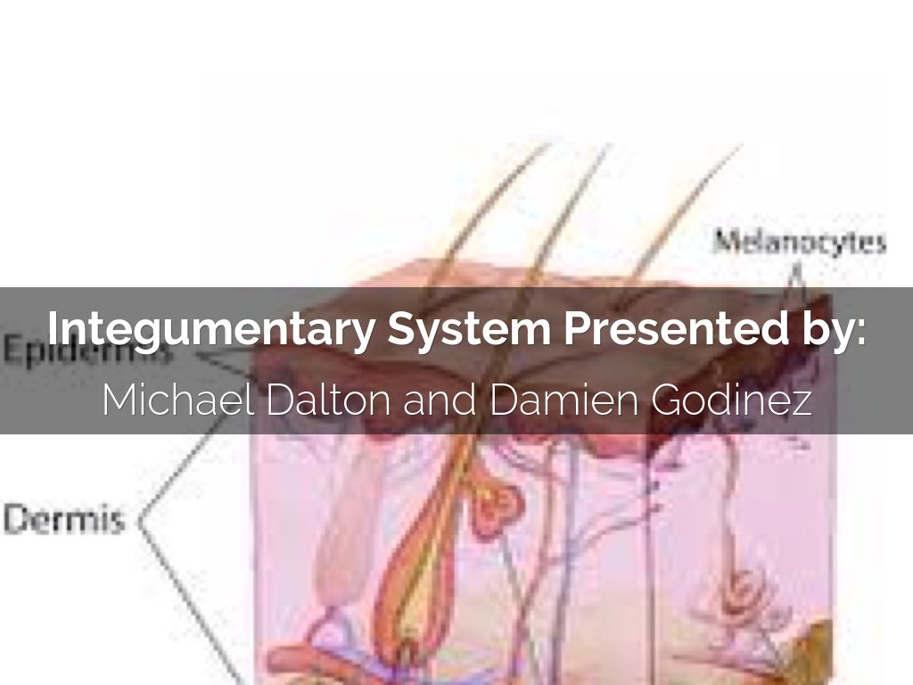 Integumentary System By Michael Dalton