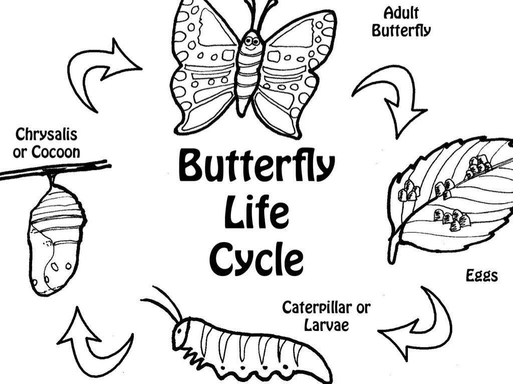 Life Cycle Of A Butterfly By Abbie Hopen