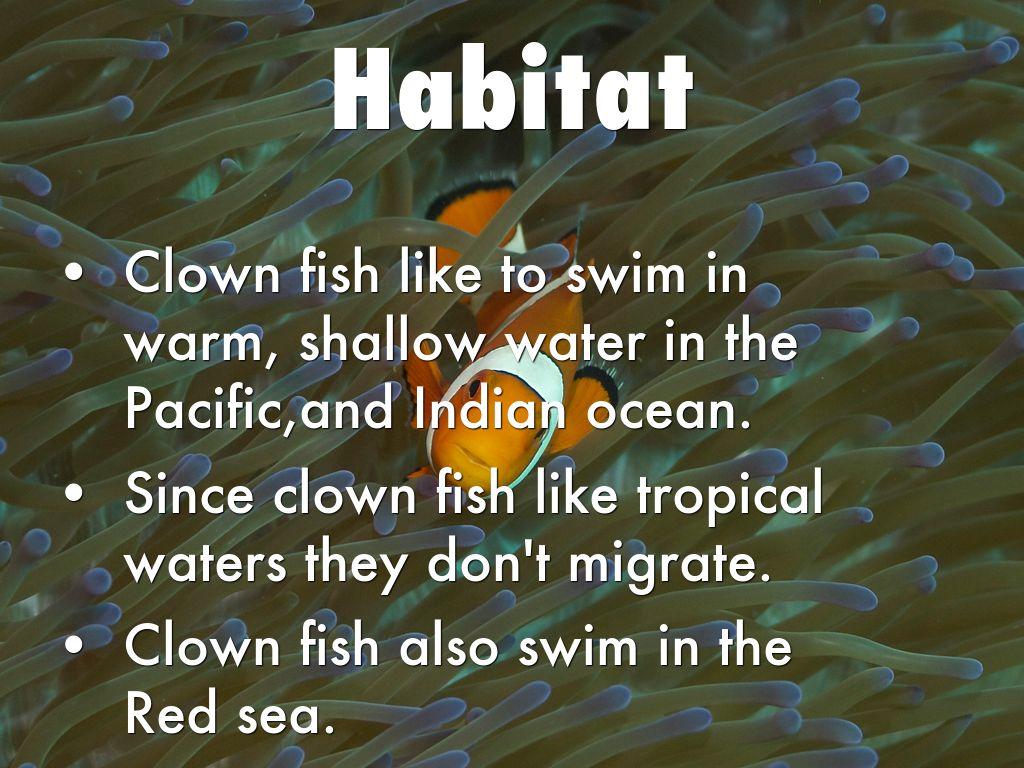 Copy Of Clown Fish By Jvukmarkaj