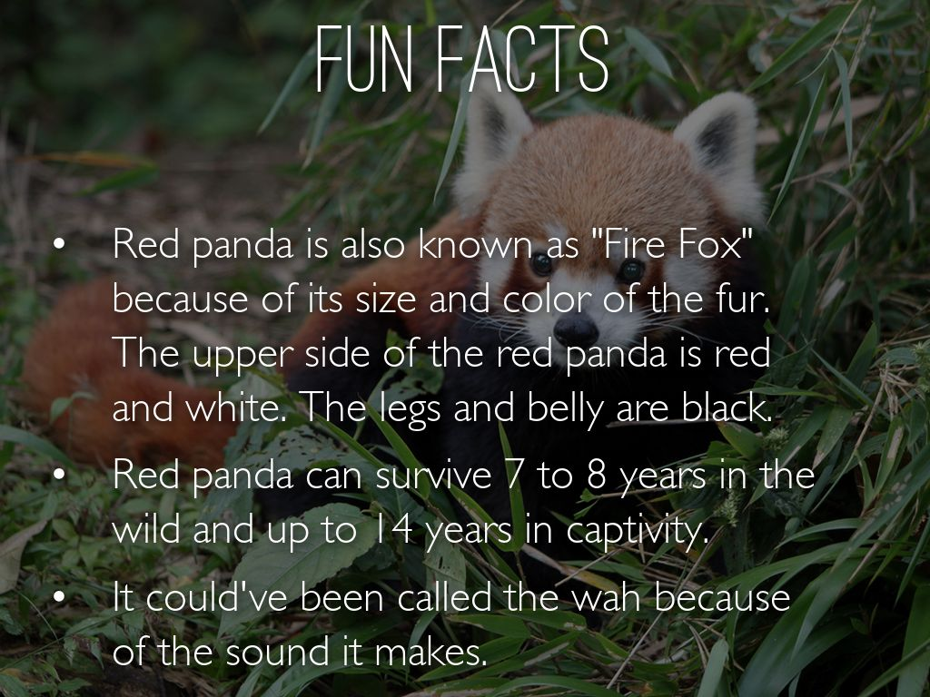 Red Panda Pictures And Facts