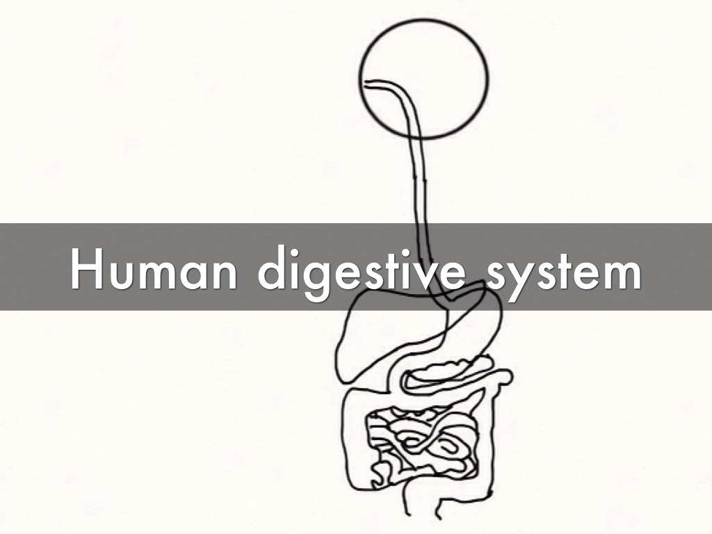 Digestive System By Hannah S