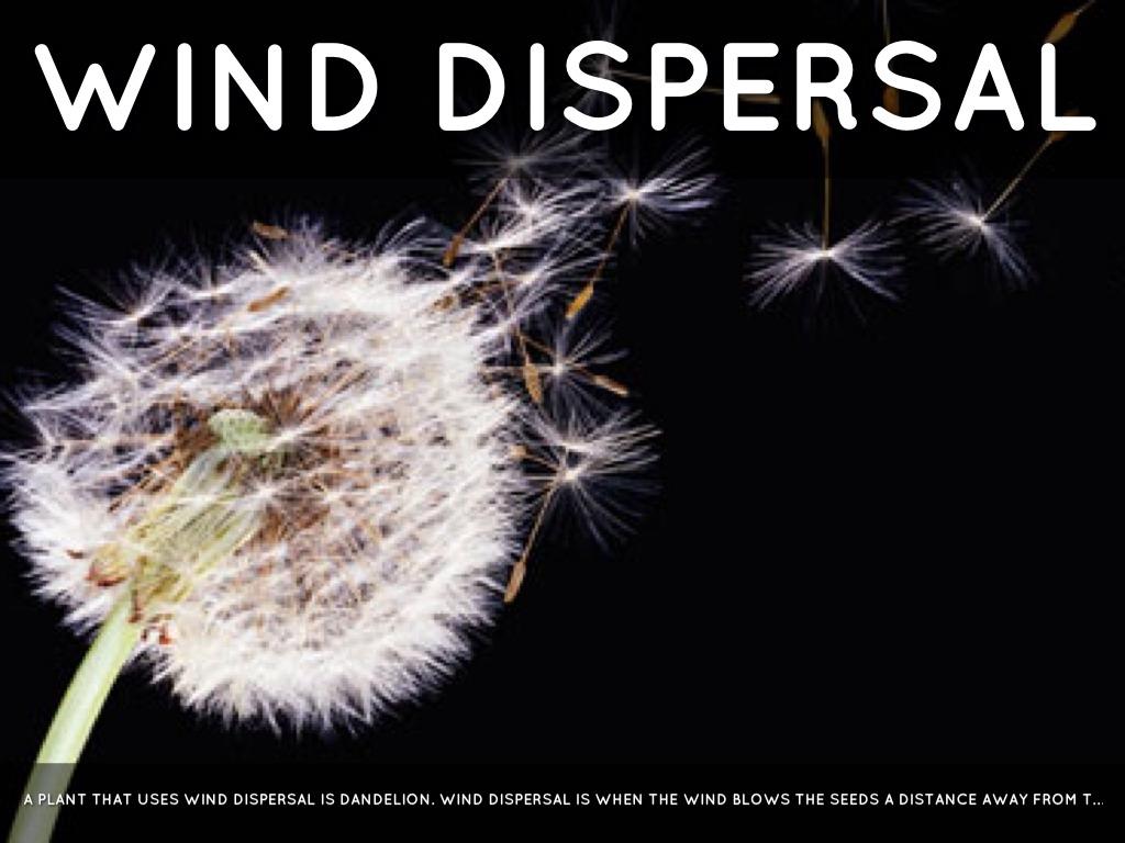 Seed Dispersal By Harrison Davies