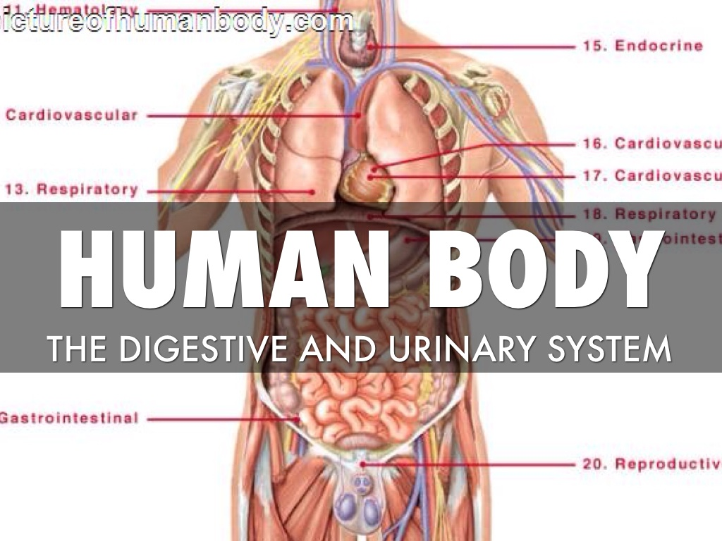 Digestive System And Urinary System The Urinary Tract