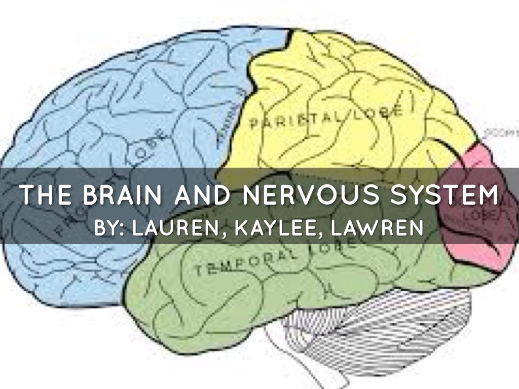 Brain Nervous System By Kmbartley