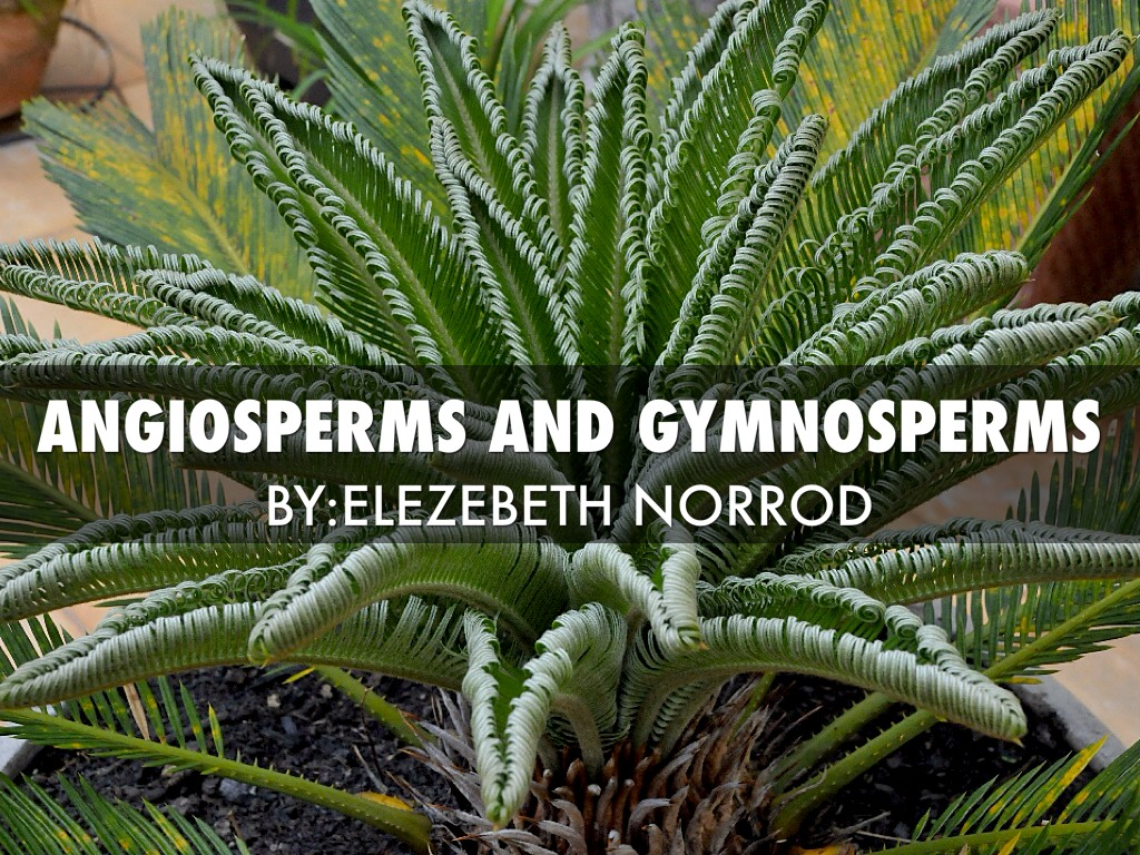 Angiosperms And Gymnosperms By Elezebeth Norrod