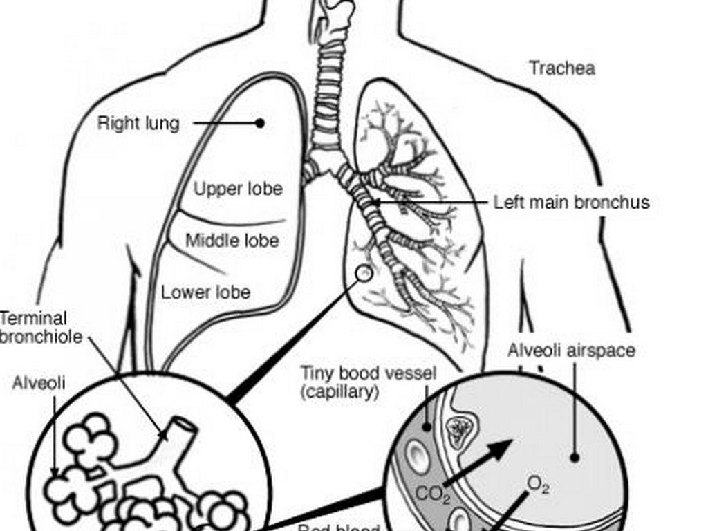 Respiratory System By Martinaa