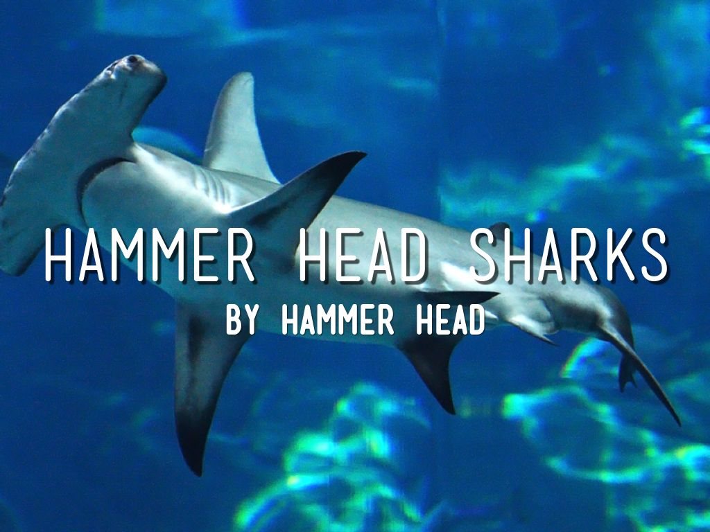 Hammerhead Sharks By Emu Lord