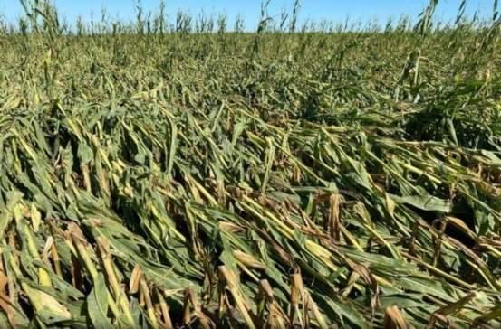 가격 압박에 옥수수 관세 0 …이게 다 중국 돼지 강진규 농산물 때문이다