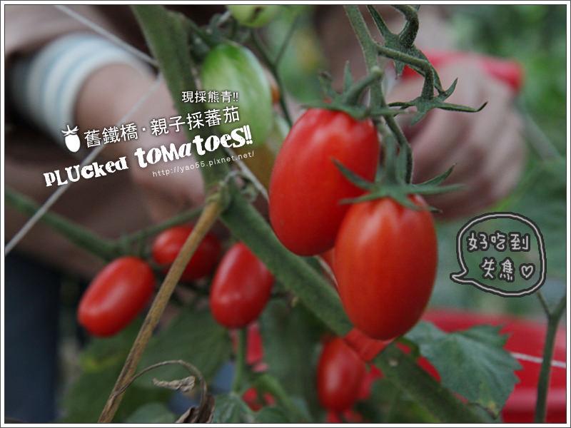 【旅遊】高雄大樹區|舊鐵橋親子採蕃茄,現採熊青!!PLUCKED TOMATOES