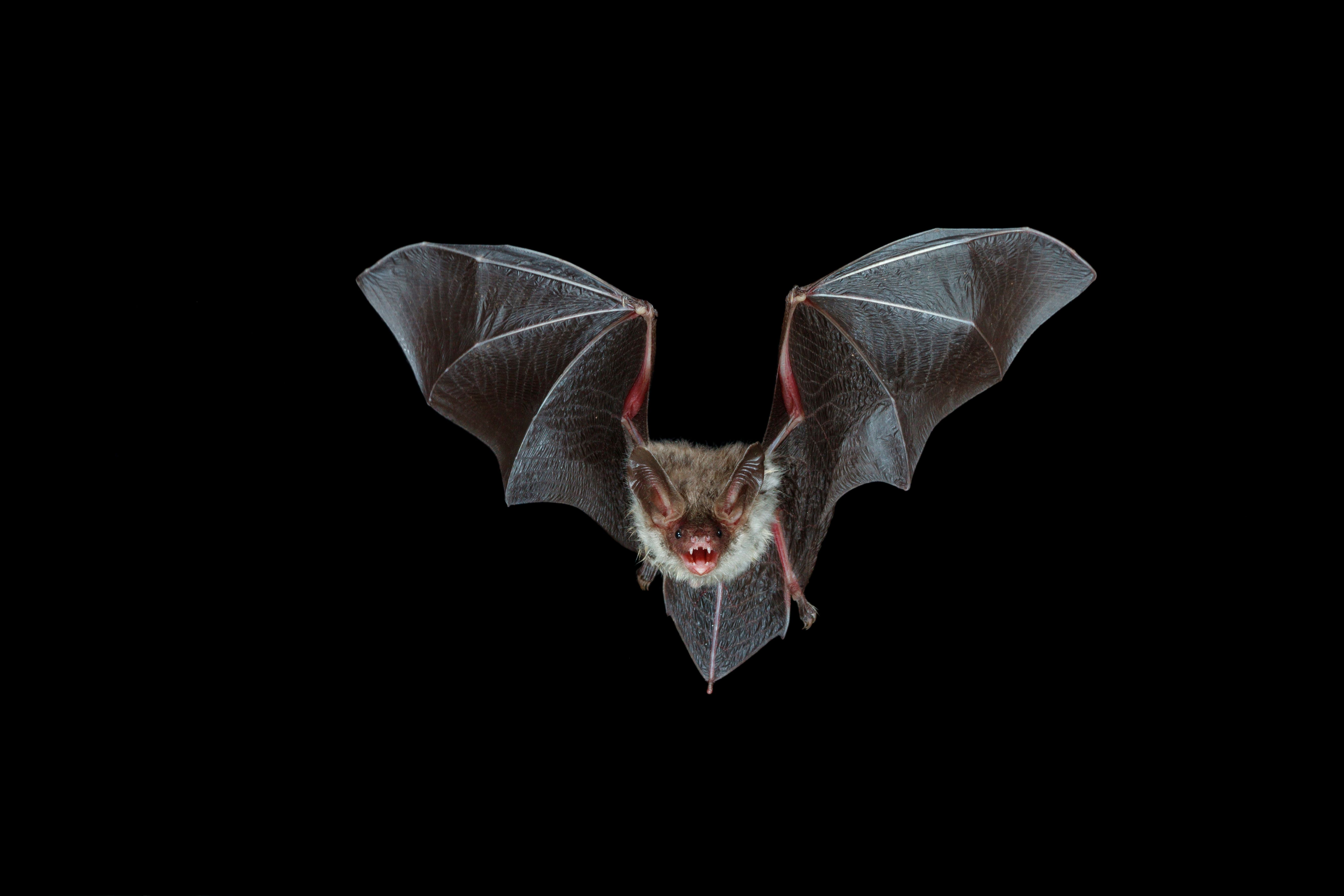 These Cute Bats Reveal Something They Have In Common With
