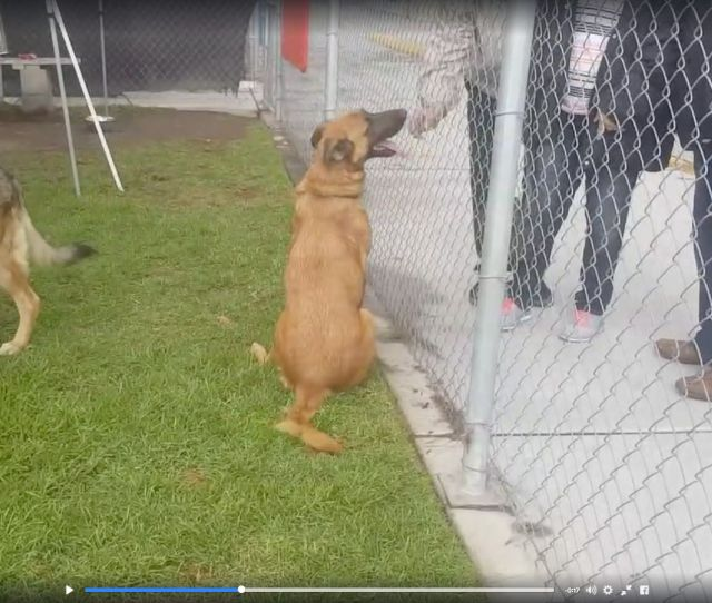 Shelter Dog Watches Her Former Family Arrive To Adopt A New Pooch Huffpost