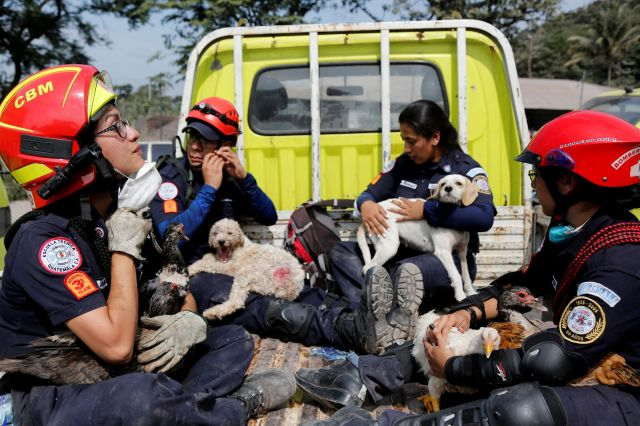Firefighters hold rescued animals at an area affected by the eruption of the Fuego volcano.