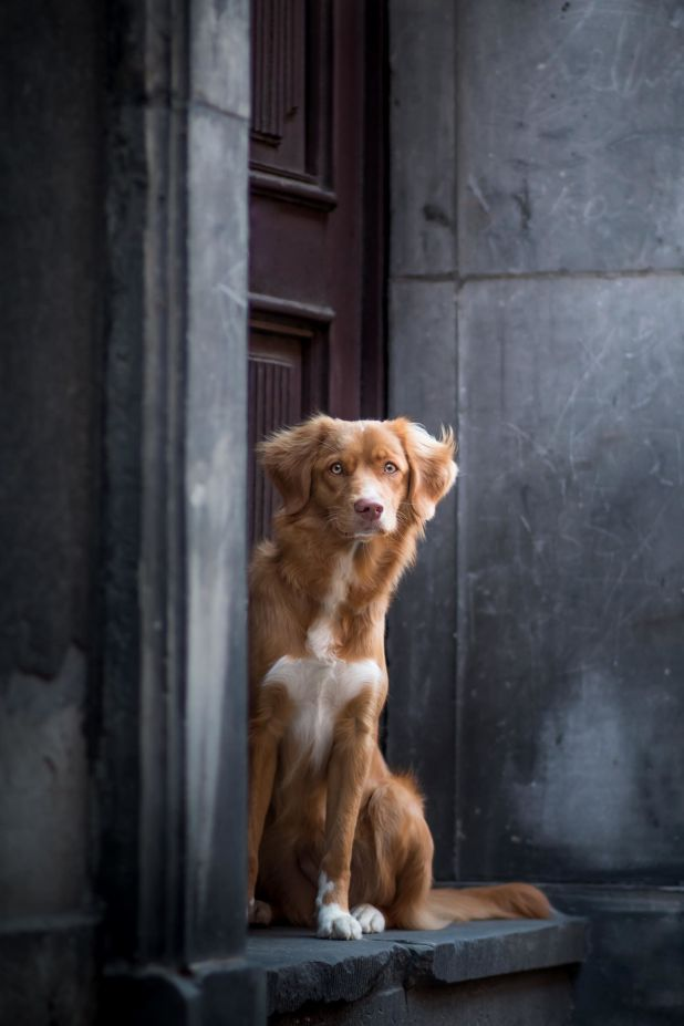 "<strong>Second Place</strong><br>""Waiting Beauty""<br>Thalia, Nova Scotia duck tolling retriever, Poland"