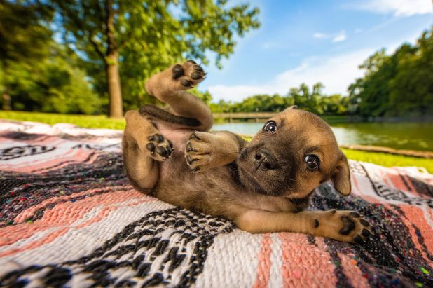 """<strong>Third Place</strong><br>""""Let's Call It Roly Poly Puppy""""<br>Snickers, crossbreed puppy photographed for Doodle Rock Re"""