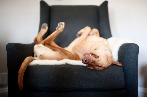 """<strong>Second Place</strong><br>""""Happy Girl Rescued""""<br>Magda, crossbreed (Hungarian vizsla and Labrador retriever), U.S."""
