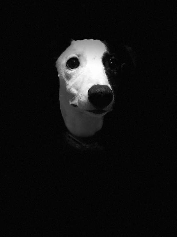 """<strong>Second Place</strong><br>""""Dinner?""""<br>Dallas, whippet, U.K.<br>Photographer Sienna Wemyss is 10 years old."""