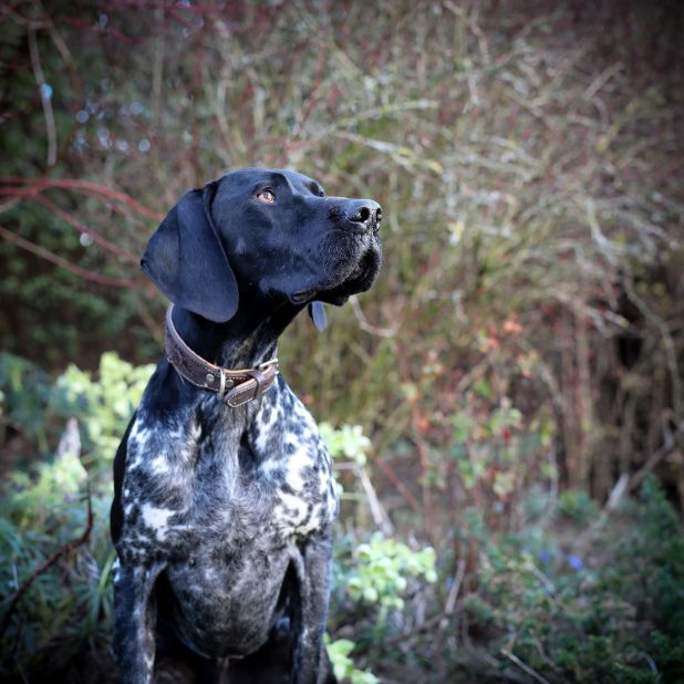 "<strong>Third Place</strong><br>""Monty""<br>Monty, German shorthaired pointer, U.K.<br>Photographer Maisie Mitford is 11 years"
