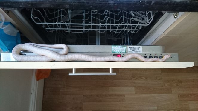 This snake somehow ended up inside a dishwasher in Sheffield in northern England in May.