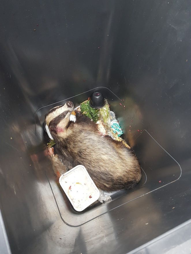 A badger was discovered in a Somerset couple's trash can in September. It was freed and later released.