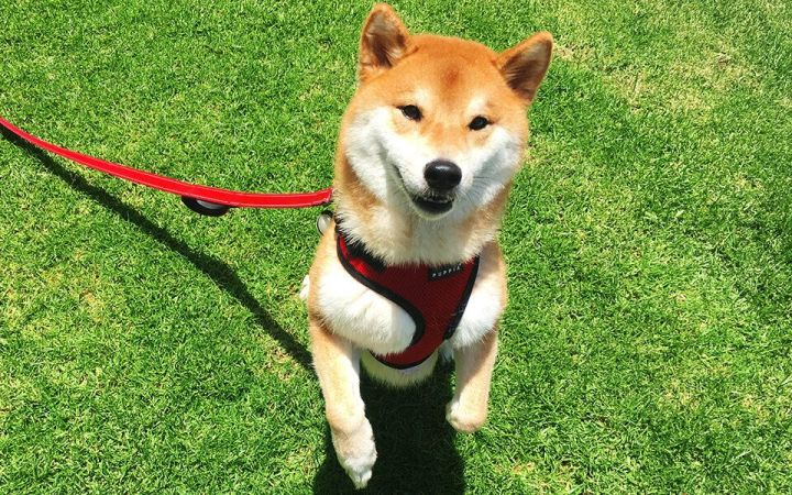 Katsu, a Shiba Inu, costs her parents an extra $50 per month in rent.