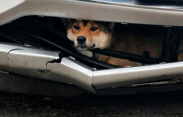 In this Monday, Oct. 28, 2019 photo provided by the Rotterdam, N.Y., Police, Coco, a Shiba inu, is trapped inside the bumper