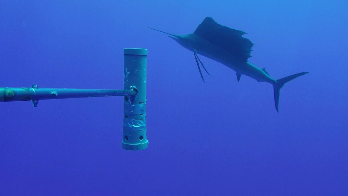 An Atlantic sailfish captured by one of the underwater camera