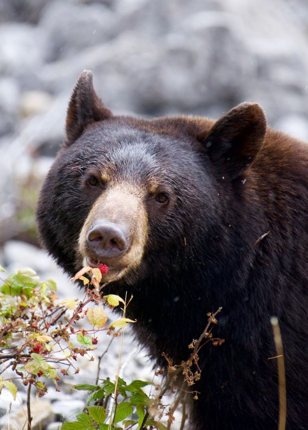 American black bear eats a raspberry in the forest.