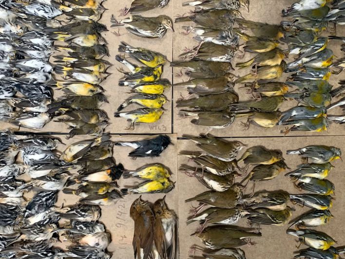 This photo provided by Melissa Breyer shows some of the dead birds collected in the vicinity of New York's World Trade Center