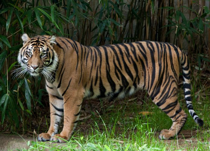 Damai, a female tiger at the National Zoo.