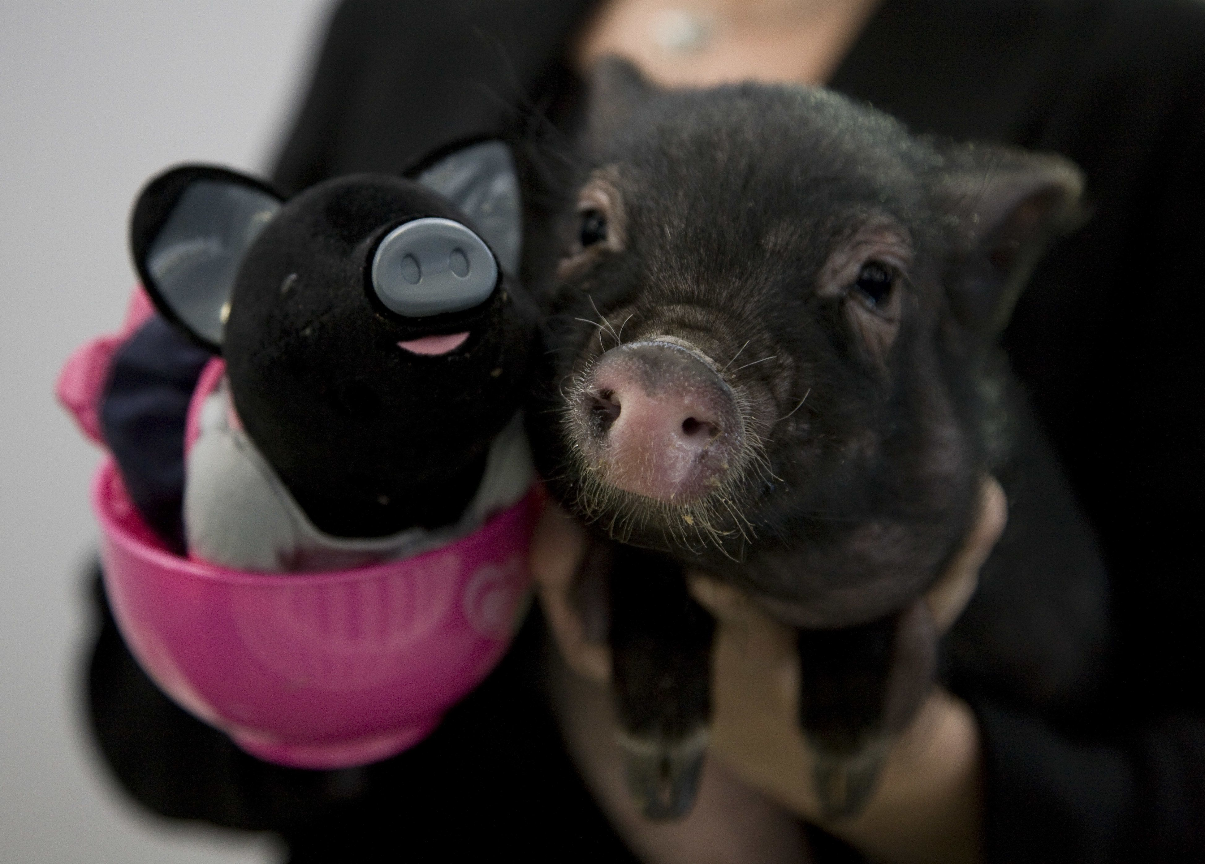"<span class='image-component__caption' itemprop=""caption"">BGI's genetically engineered pigs are not to be confused with teacup pigs (pictured above, on the right), which, according to The Dodo, are <a href=""https://www.thedodo.com/whats-misleading-about-the-tea-843842300.html"">actually stunted potbellied pigs</a>.</span>"