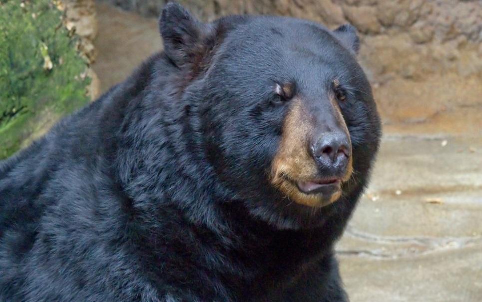 Urso invade loja e devora 40 quilos de chocolate [vídeo]