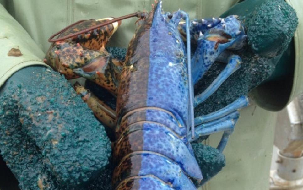 Espécime super-raro de lagosta duas caras é encontrado no Canadá