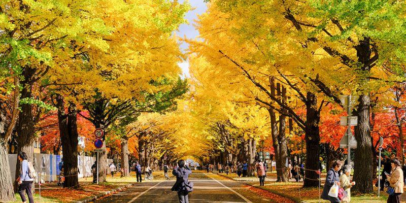 北海道・札幌 金黃銀杏隧道鋪天滿開,在這麼美的大學上課也太幸福了! 北海道大學