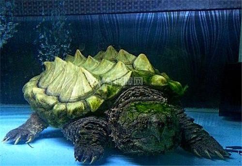 【圖】大鱷龜壽命一般是多久 大鱷龜好養嗎 - 愛我窩